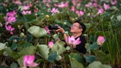 Sacred Lotus Flowers in Thailand Blossom for the First Time in a Decade