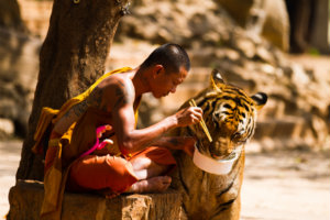 tiger-buddhist-monk.jpg
